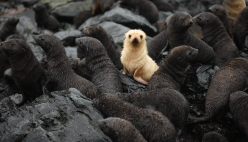 Approximately one in every 1000 Antarctic fur seal pups is born with a blond leucistic morph. At South Georgia, Antarctic fur seals are considered to be a major competitor and predator of penguins during the breeding season. (photo Mick Mackey).