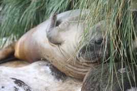 An elephant seal hides in the tussock grass on Bird Island. Non-breeding elephant seals often haul out away from the breeding beaches on the mainland. (photo Mick Mackey).