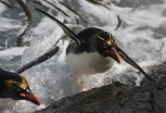 A macaroni penguin uses the surge of a wave to clamber up the rocks at the bottom of the Big Mac colony on Bird Island. (photo Cat Horswill).