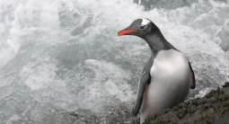 A gentoo penguin comes ashore on Landing Beach, Bird Island. (photo Mick Mackey).