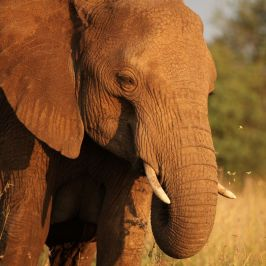 Foliage flies as an elephant feeds on forbs in central Kenya