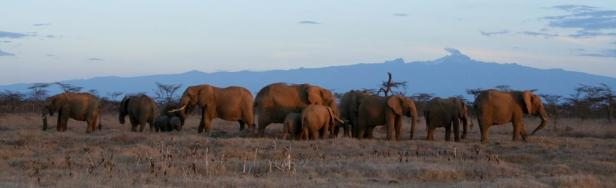Elephants in Laikipia's clay-soil, with Mt. Kenya and Acacia drepanolobium trees in the background
