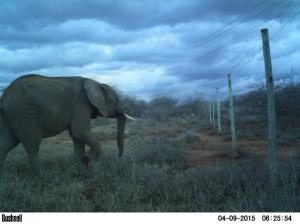 Electrified wires exclude elephants from experimental plots