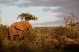 An elephant browses in riparian bushland at sunset, Laikipia, Kenya