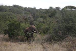 An elephant feeds on Acacia mellifera at Mpala Research Centre, Kenya