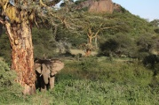 Elephants consume a mixture of grasses and woody vegetation