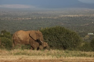 Elephants and humans share close quarters on private ranches and conservancies in Laikipia, Kenya