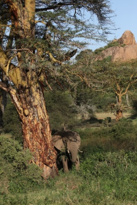 Elephant grazes in the shade of fever trees by the hippo pools at Mpala Research Centre
