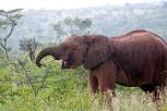 An elephant prepares to chow down on Acacia drepanolobium