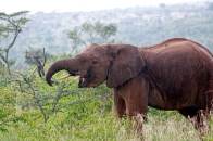 An elephant prepares to chow down on Acacia drepanolobium