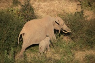 A female browses Phyllanthus while her calf searches for milk (Mpala Research Centre, Kenya)