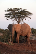 Tuskless elephant and Acacia tortilis with weaver-bird nests