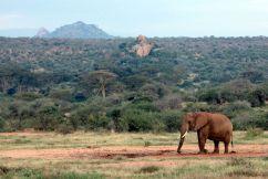 Elephant in red-sands bushland, Laikipia, Kenya