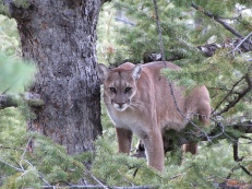 An adult female cougar, held in a tree by baying hounds, during capture efforts. Photograph by Mark Elbroch / Panthera.