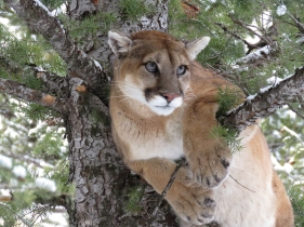 Portrait of F49, an adult female mountain lion. Photograph by Khalil Karimov / Panthera.