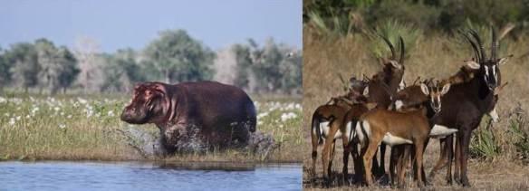 Hippo and antalope 3