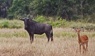 Wildebeest and Impala