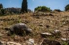 Tetsudo marginata and Testudo graeca peacefully co-existing in the heart of Athens, within eyesight of the Akropolis. Photo by: Alex Slavenko.