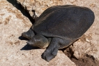 Trionyx triunguis, a softshell turtle (with a heavily reduced bony shell and lacking keratinous scutes) basking on the banks of Alexander stream, Israel. Photo by Alex Slavenko.