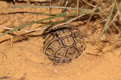 Juvenile Testudo kleinmanni, a desert specialist, burrowed in the sand in the Western Negev sand dunes, Israel. Photo by Akiva Topper.