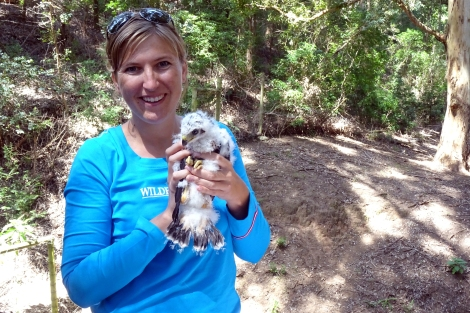 P Sumasgutner with black sparrowhawk chick