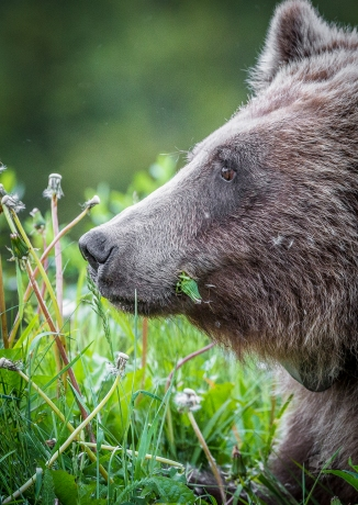 Grizzly bear looking into the distance. Photo taken by Darryn Epp in the Alberta Rockies.