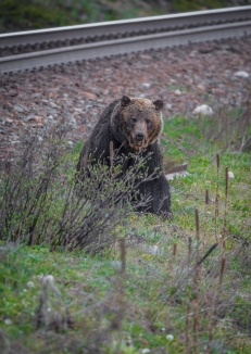 Large grizzly beside railroad track. Photo taken by Darryn Epp in the Alberta Rockies.