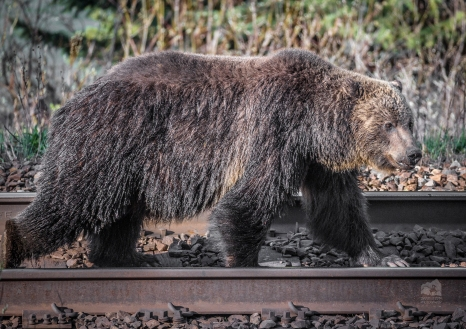 Grizzly bear walking down railroad tracks. Railway collisions are an substantial portion of grizzly bear mortalities in some regions. Especially where a food incentive for bears exist on or near the tracks. Photo taken by Darryn Epp in the Alberta Rockies.
