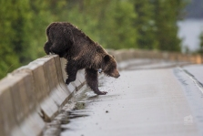 Grizzly bear enters highway. Photo taken by Darryn Epp in the Alberta Rockies.