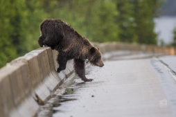 Grizzly bear enters highway. Photo taken by Darryn Epp in the Alberta Rockies.