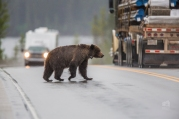 After entering the highway, this grizzly bear finds itself amongst busy traffic. Collisions with cars are a significant portion of grizzly bear mortality in the Trap area, and beyond. Photo taken by Darryn Epp in the Alberta Rockies.