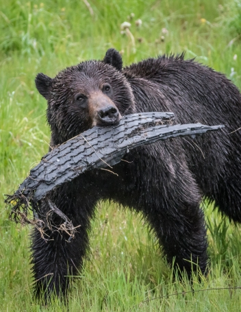 Cars don't always win. This bear likely found an old piece of tire to carry around. Photo taken by Darryn Epp in the Alberta Rockies.