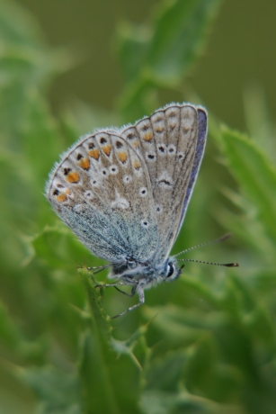 common_blue