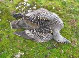 Emerging infectious diseases are a growing concern in wildlife conservation. This paper uses innovative methods developed for the real-time study of disease epidemics in humans and applies them to an Arctic seabird species experiencing a new series of highly virulent outbreaks of avian cholera to predict disease dynamics and assess the threat to population viability. Samuel A. Iverson et al. http://dx.doi.org/10.1111/1365-2656.12585