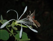IN FOCUS PAPER The authors assessed whether hawkmoths more frequently visit plants with floral tube lengths similar to their proboscis lengths beyond abundance-based processes and ecological trait mismatches constraints. The findings highlight the importance of morphological traits matching, revealing that the role of niche-based processes can be much more complex than previously known. Federico D. Sazatornil et al. http://dx.doi.org/10.1111/1365-2656.12509 In Focus by Pedro Jordano http://dx.doi.org/10.1111/1365-2656.12584