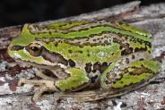 This paper provides new insights into how the disease chytridiomycosis impacts amphibian demography and ecology. The authors show that the disease is associated with the truncation of adult age structure. Loss of individuals capable of reproducing across multiple years effectively reduces niche breadth through reduced capacity to tolerate recruitment failure. Ben C. Scheele et al. http://dx.doi.org/10.1111/1365-2656.12569