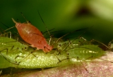 Protective effects of microbial symbionts are known from laboratory studies, but little is known about how they affect host fitness in the field. The authors show that protective symbiosis does work in nature and can affect food web structure and dynamics. However, symbionts do not necessarily increase host fitness. Jan Hrček et al. http://dx.doi.org/10.1111/1365-2656.12586