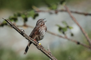 The authors used 38 years of songbird data to estimate sex-specific additive genetic variances (VA) in breeding date while accounting for fine-scale location-based variance (VLoc). They found significant sex-specific VA, a strongly positive cross-sex genetic correlation and that modelling VLoc did not alter estimated VA when relatives breed in separate locations. Ryan R. Germain et al. http://dx.doi.org/10.1111/1365-2656.12575