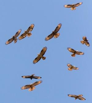 European Honey Buzzards Pernis apivorus soaring in the wind.