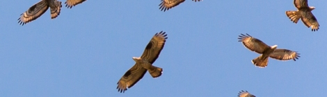 European Honey Buzzards Pernis apivorus soaring in the wind.