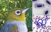 Parasite competition and facilitation are expected to occur across many host systems, yet evidence from wildlife is limited and strongly biased towards mammal hosts. Using hierarchical multivariate modelling, the authors show that interspecific parasite interactions are common and may be important drivers of blood parasite distributions in wild avian hosts. Nicholas J. Clark et al. http://dx.doi.org/10.1111/1365-2656.12578