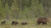 The authors explored detailed spatiotemporal effects of male hunting on juvenile survival in brown bears, a species with sexually selected infanticide. The distribution of kills might be more important for juvenile survival than the number of males killed. Thus, reducing harvest intensity might not always increase population growth. Gosselin et al. https://dx.doi.org/10.1111/1365-2656.12576