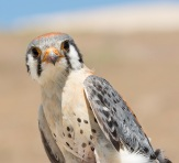 American kestrels, inhabiting a mosaic of habitats, nested earlier in response to earlier prey availability in agriculture, but not wildlands. Prey in agriculture were earlier because farmers planted crops earlier following warmer winters. This suggests an association between human adaptation to climate change and shifts in breeding phenology of wildlife. Smith et al. https://dx.doi.org/10.1111/1365-2656.12604