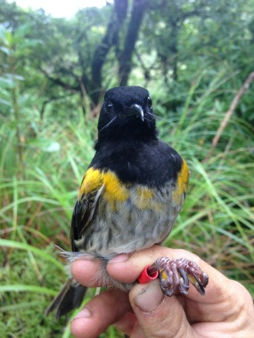 A recently ringed male hihi