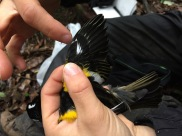 How old is he? The black alula feathers suggest this male is older than one year (photo credit: Marcela Mendoza Suárez)