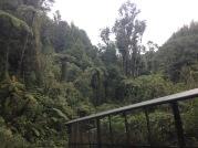 The dense, mature forest of Maungatautari (photo credit: Leila Walker)