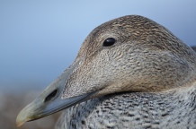 Hidden survival heterogeneity of three Common eider populations in response to climate fluctuations. Loreleï Guéry et al. http://doi.org/10.1111/1365-2656.12643