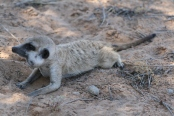 Social and environmental factors affect tuberculosis related mortality in wild meerkats. Stuart Patterson et al. http://doi.org/10.1111/1365-2656.12649