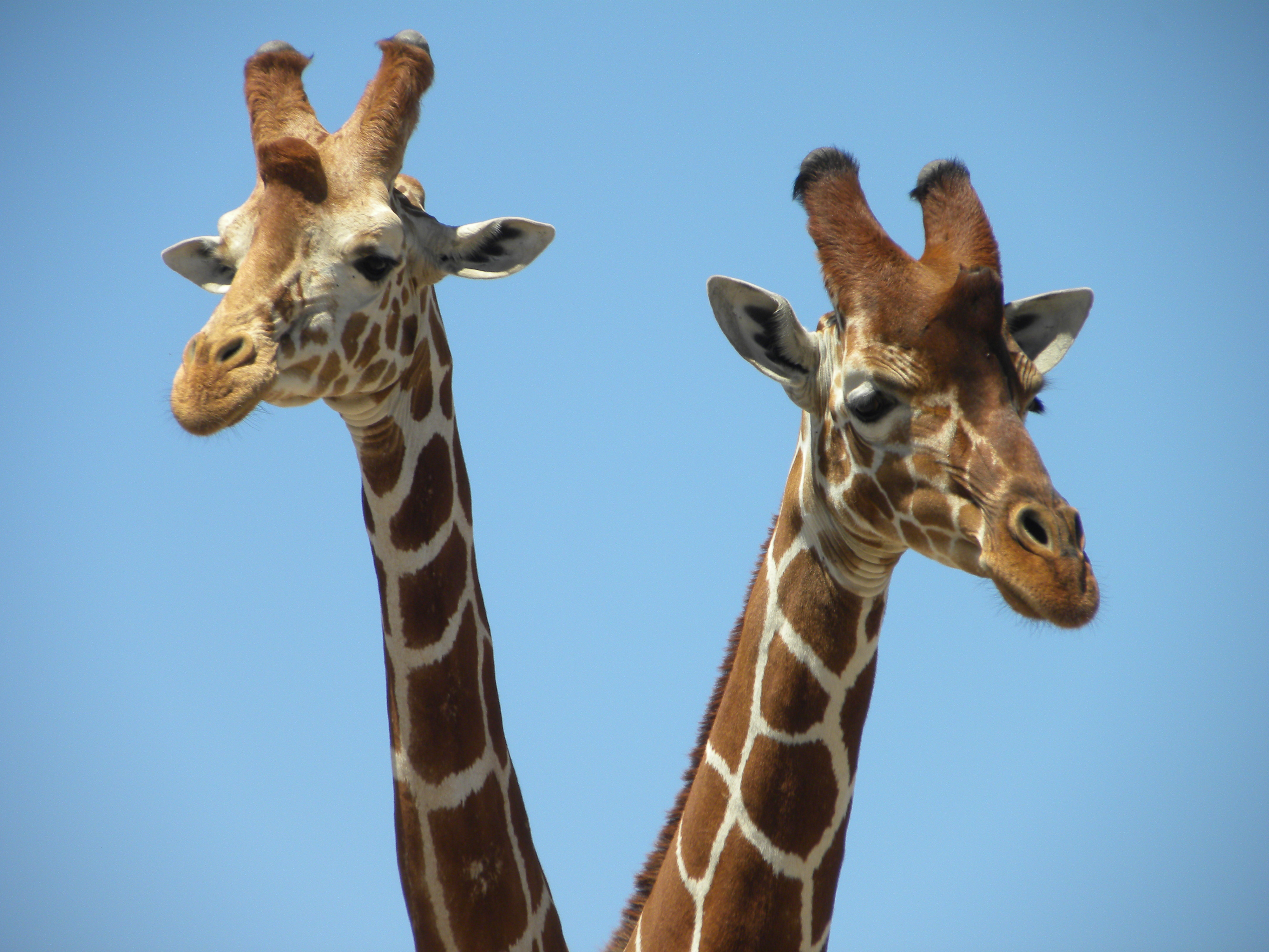 social networks and disease transmission u2013 a story of giraffes