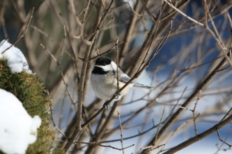 Chickadee winter_byCatherineJarjour